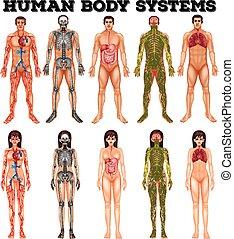 kropp, kvinna, system, man