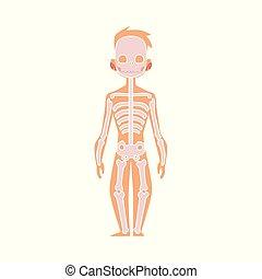kropp, lägenhet, skelett, anatomi, vektor, mänsklig, struktur
