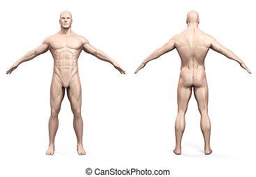 kropp, mänsklig, render, 3