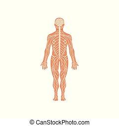 kropp, mänskligt nervöst system, illustration, anatomi, vektor, bakgrund, vit