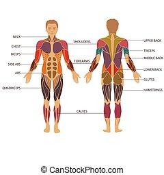 kropp, muskel