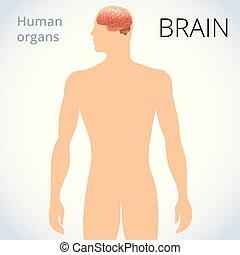 kropp, nerv systemet, hjärna, lokalisering, mänsklig