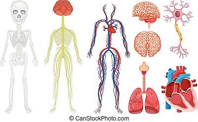 kropp, olik, system, mänsklig