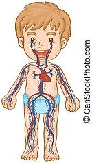 kropp, pojke, blod, system