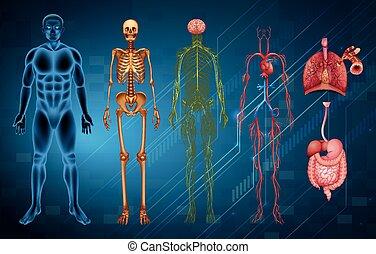 kropp, system, mänsklig