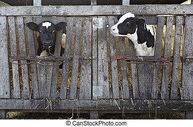 krowa, zagroda, rolnictwo, wołowy, mleczny