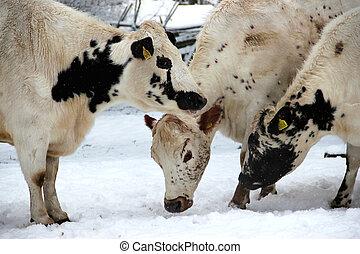 krowy, biały, czarnoskóry, śnieg
