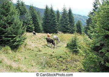 krowy, góra, pastwiskowy, krajobraz, wolność