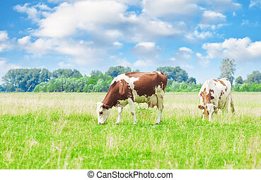 krowy, pastwiskowy