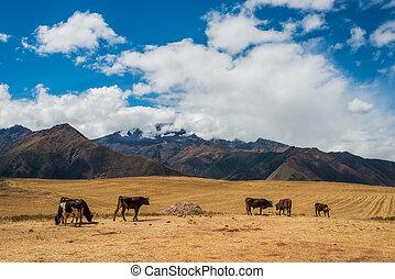 krowy, peruwiański, andy, cuzco, peru