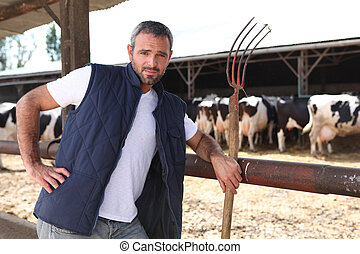 krowy, przód, stał, rolnik