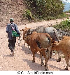 krowy, rolnik