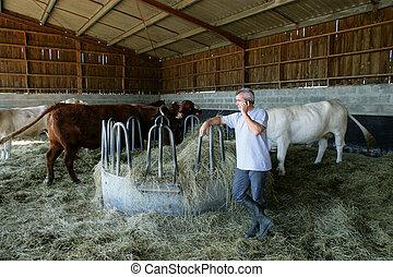 krowy, stodoła, rolnik