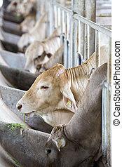 krowy, zagroda