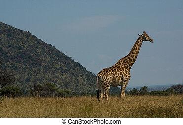 kruger, national, girafe, parc