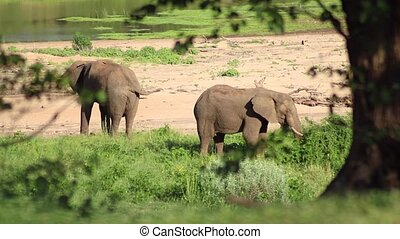 Kruger National Park Elephants Eating Grass