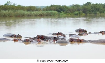 Herd of hippos resting in water in Kruger National Park, South Africa
