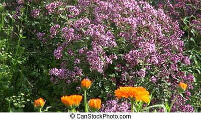 kruid tuin, in, zomer, boerderij