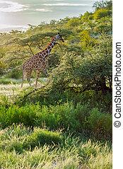 kruising, spoor, giraffe, park, samburu