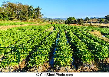 krumpli, mező, képben látható, kék ég, parkosít.