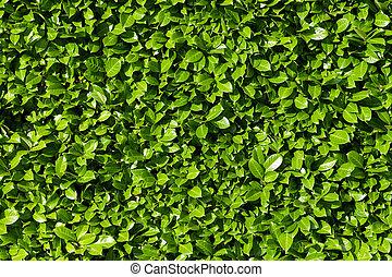 krzaki, laur, żywopłot, zielone listowie