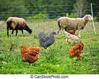 kuře, a, sheep, pastvisko, dále, organický, farma