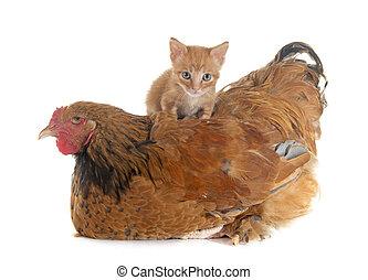 kuře, brahma, kotě