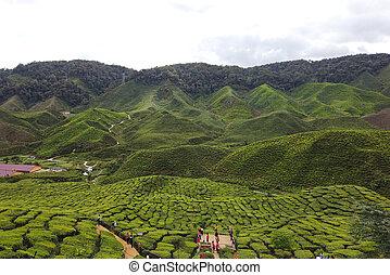 View of Green Tea Plantation, Cameron Highland