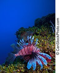 kuba, cayo, koral, (pterois), lionfish, largo