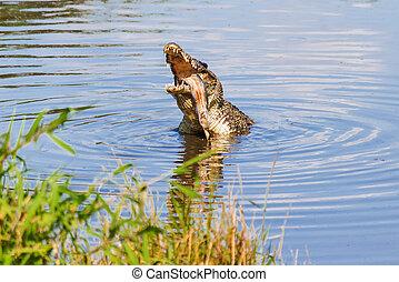 kubanisches krokodil, (crocodylus, rhombifer), ißt, fish., ihm, hat, der, kleinsten, bereich, von, irgendein, krokodil, und, buechse, sein, gefunden, nur, in, kuba, in, der, zapata, sumpf