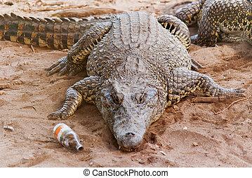 kubanisches krokodil, (crocodylus, rhombifer), lies, auf, sand, mit, leere flasche, bei, it., ihm, hat, der, kleinsten, bereich, von, irgendein, krokodil, und, buechse, sein, gefunden, nur, in, kuba, in, der, zapata, sumpf