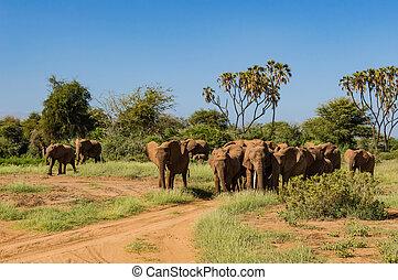 kudde, olifanten, in, de, savanne
