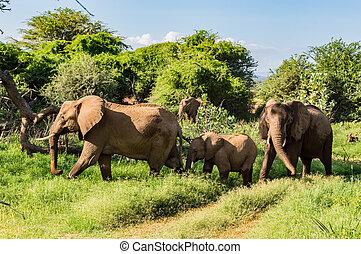kudde, olifanten, in, de, savanne, van, samburu, park