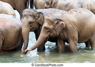 kudde, rivier, olifanten