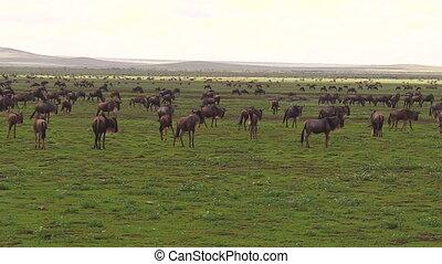 kudde, van, afrikaan, wildebeests, migratie