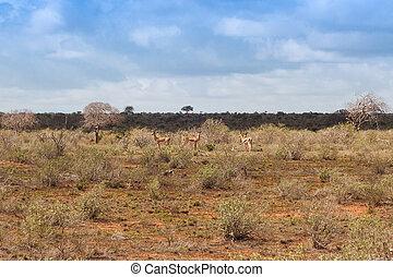 kudde, van, gazelles, in, de, savanne