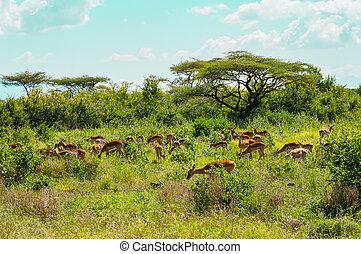kudde, van, impalas, grazen, in, de, savanne, weiden, van, samburu, park