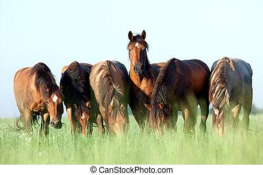 kudde van paarden, in, pasture.