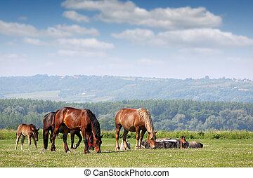 kudde van paarden, op, wei, welen seizoen op