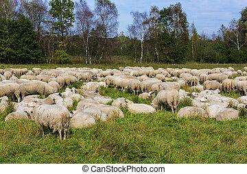 kudde, van, sheep., schaap, schavingen, op, een, groen veld