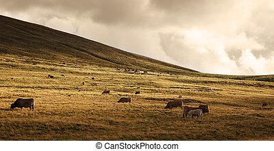 kudde van vee, op, ondergaande zon
