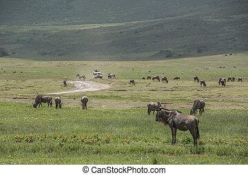 kudde van wildebeest, in, de, afrikaan, savanne