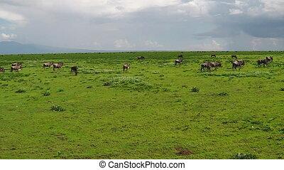kudde, van, wildebeests, migratie, in, ndutu