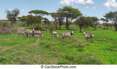 kudde van zebras, migratie, in, ndutu