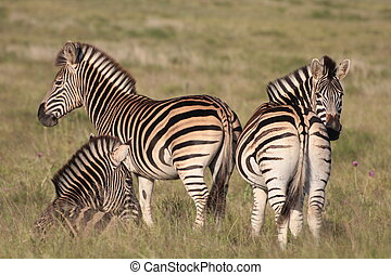 kudde, zebra, burchell