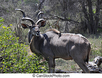 kudu, à, une, accompagner, oiseau