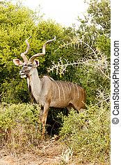 kudu, -, より大きい, strepsiceros, tragelaphus