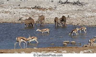 Kudu and springbok antelopes - Etos - Kudu and springbok...
