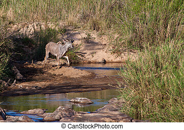 Kudu animal standing near a river bed