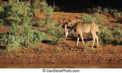 Kudu antelope feeding - A female kudu antelope (Tragelaphus...